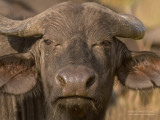 Afrikaanse buffel - African Buffalo - Syncerus caffer