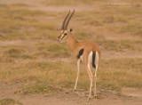 Thomsons Gazelle - Thomsons Gazelle - Eudorcas thomsonii
