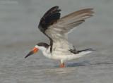 Amerikaanse Schaarbek - Black Skimmer - Rynchops niger