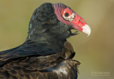 Kalkoengier - Turkey Vulture - Cathartes aura