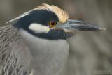 Geelkruinkwak - Yellow-crowned Night-Heron - Nyctanassa violacea
