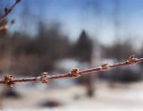 Early Spring Forsythia Buds