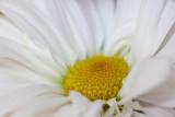 White Daisy Macro #2