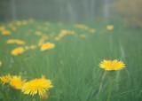 Dandelions in Fog #1