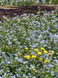 Dandelions, Bluets and Log