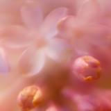 Soft Lilac Macro #4