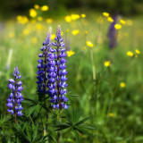 Stylized Lupins and Buttercups