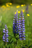 Lupins and Buttercups 2011 #1