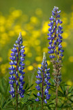 Trio of Blue Lupines with Buttercups #1