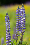 Trio of Blue Lupines with Buttercups #2