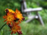 Orange Hawkweed by Bench