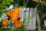 Orange Hawkweed in Front of Bench