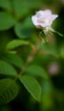 Small Pink Tea Rose #1