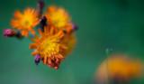 Orange Hawkweed Cluster