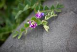 Flower on Rock