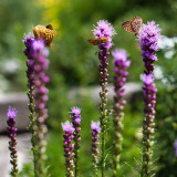 Butteflies on Liatris Flowers