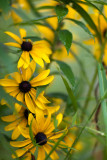 Rudbackia Among Weeds