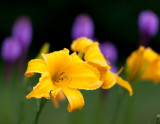 Yellow Lilies and Liatris