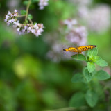 Great Spangled Fritillary Butterfly on Oregano Flowers #1