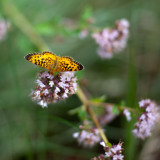 Great Spangled Fritillary Butterfly on Oregano Flowers #3