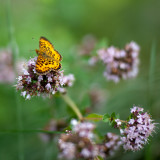 Great Spangled Fritillary Butterfly on Oregano Flowers #6