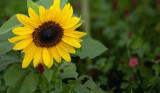 Sunflowers and Wildflowers #3