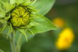 Future Tall Sunflower and Little Sunflowers