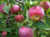 Apple Picking #2