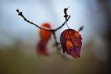 Branch End Leaf