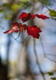 Backlit Red Leaf at Branch End