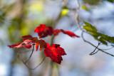 Backlit Red Leaf at Branch End #1