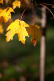 Yellow leaves on Little Maple