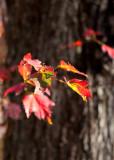 Red Leaves Against Bark #1
