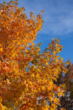 Orange Maple and Sky