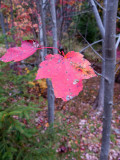 Two Red Leaves #1
