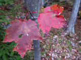 Two Red Leaves #2