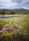 Pink Flowering Bush Near Little Long Pond