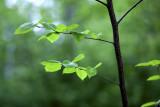Backlit Baby Aspen Leaves