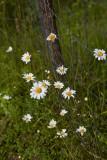 Daisy Bunch by Fencepost, take 1