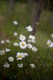 Daisy Bunch by Fencepost, take 2