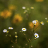 Little White Asters #2