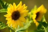 First Sunflower Pair 2012