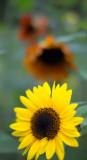 Yellow and Orange Sunflowers