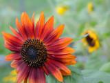 Orange Sunflower Close-up #2