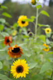 Sunflower Variety #2
