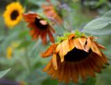 Sounflowers, Orange and Yellow