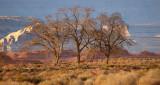 Elms in the Desert