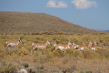 What Makes Pronghorn Happy?