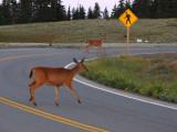 Deer X-ing