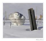 harfang__snowy_owl